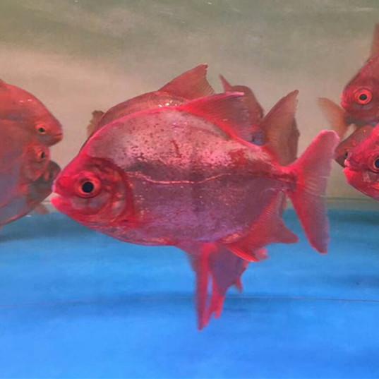 大庆玫瑰银版鱼